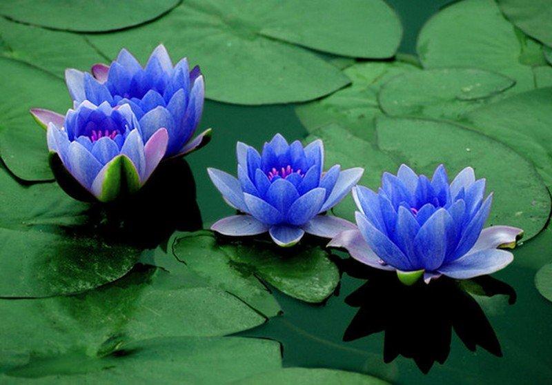 Blue-Lotus-Flowers-on-the-Water.jpg