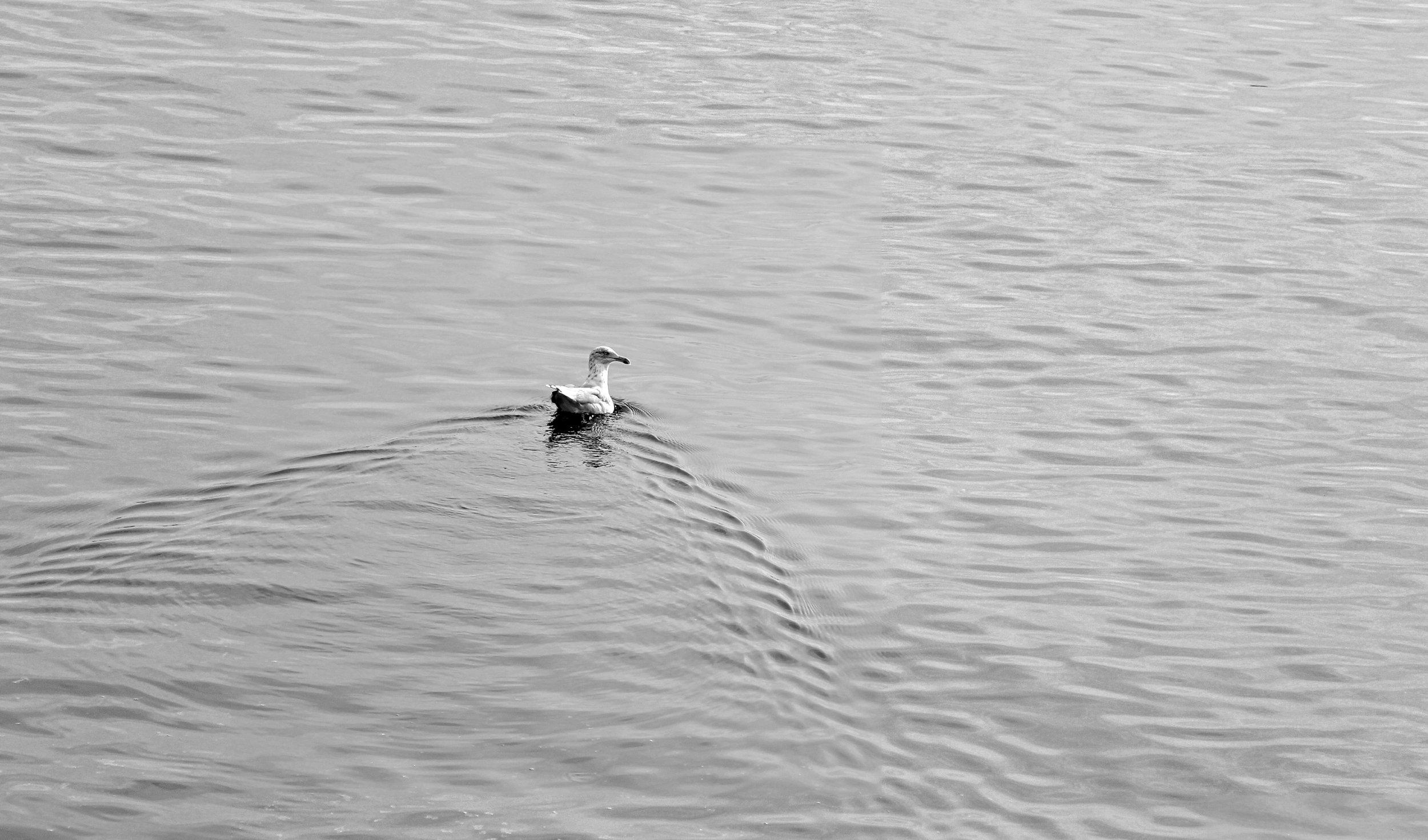 Gull, Nut Island