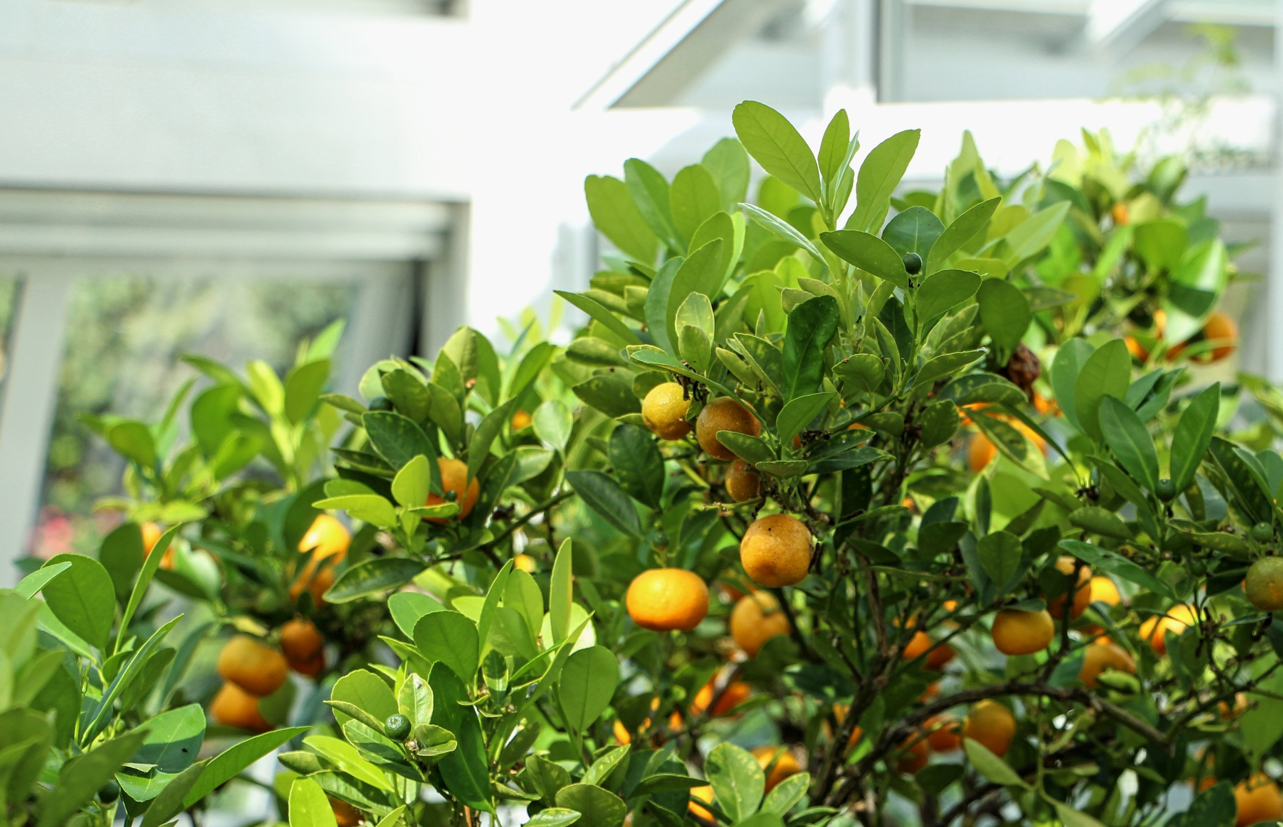 Oranges in the Greenhouse