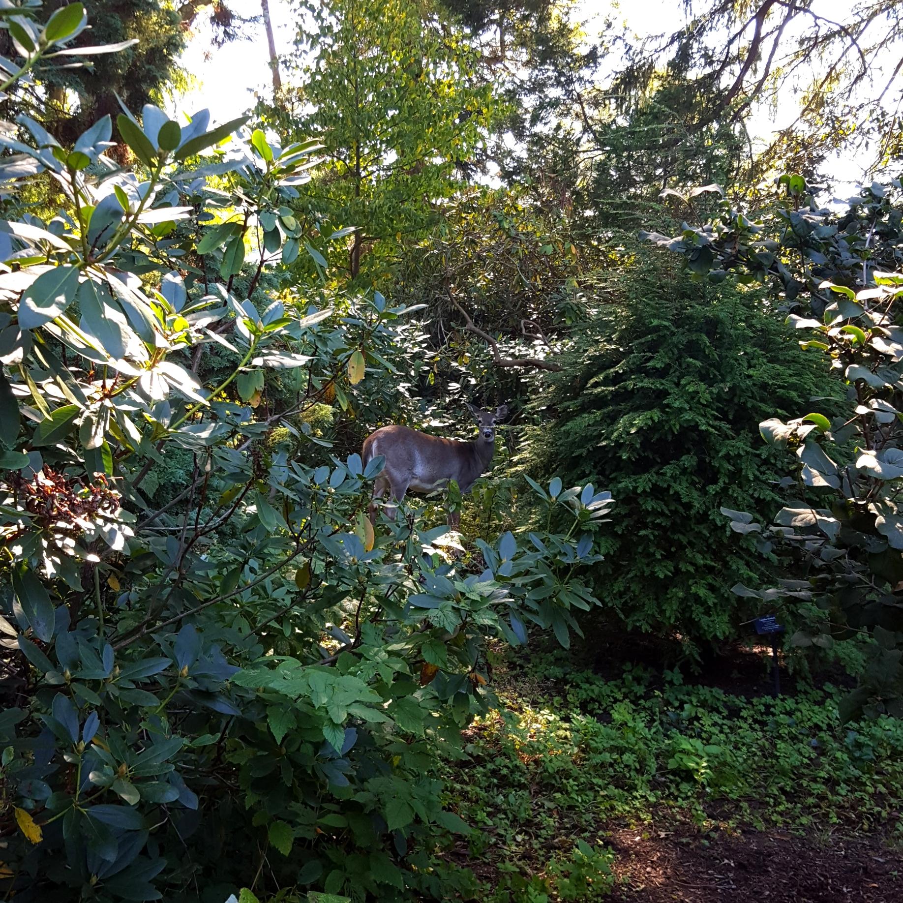 Deer, Blithewold Enclosed Garden