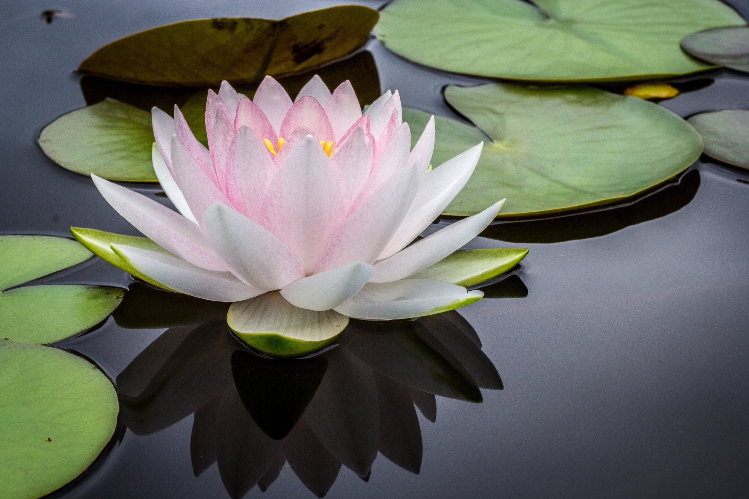 Mindfulness Based Stress Reduction Image, Lily on Pond