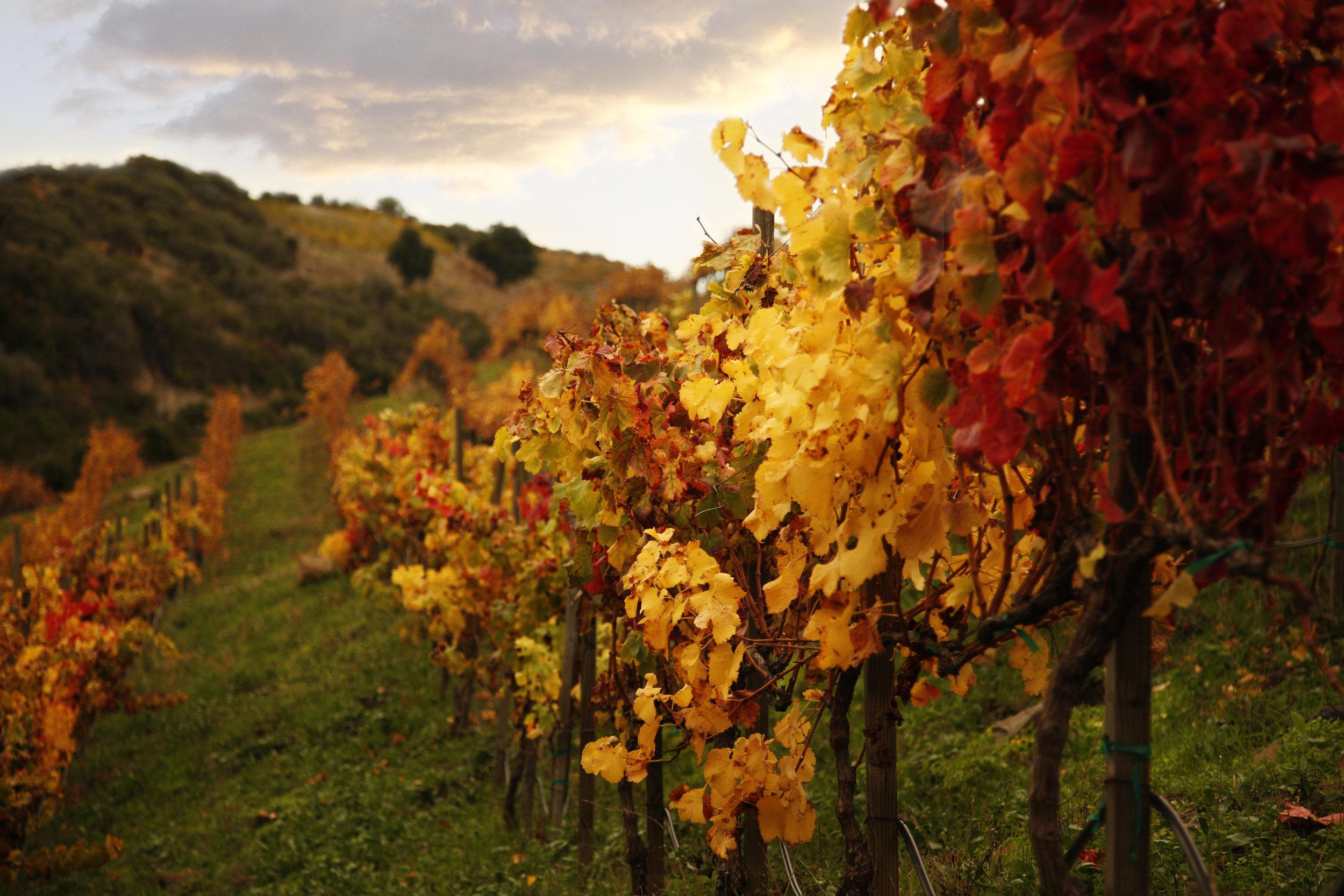 Fall Vineyard row copy.jpg