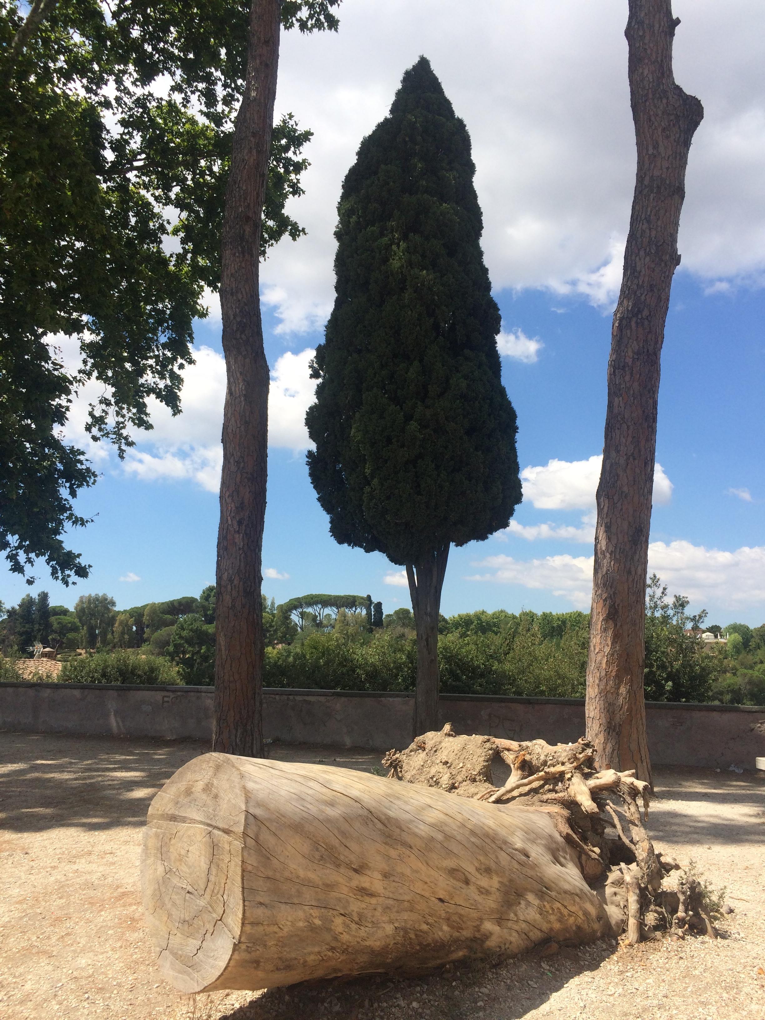 Gianicolo TREE 1.JPG