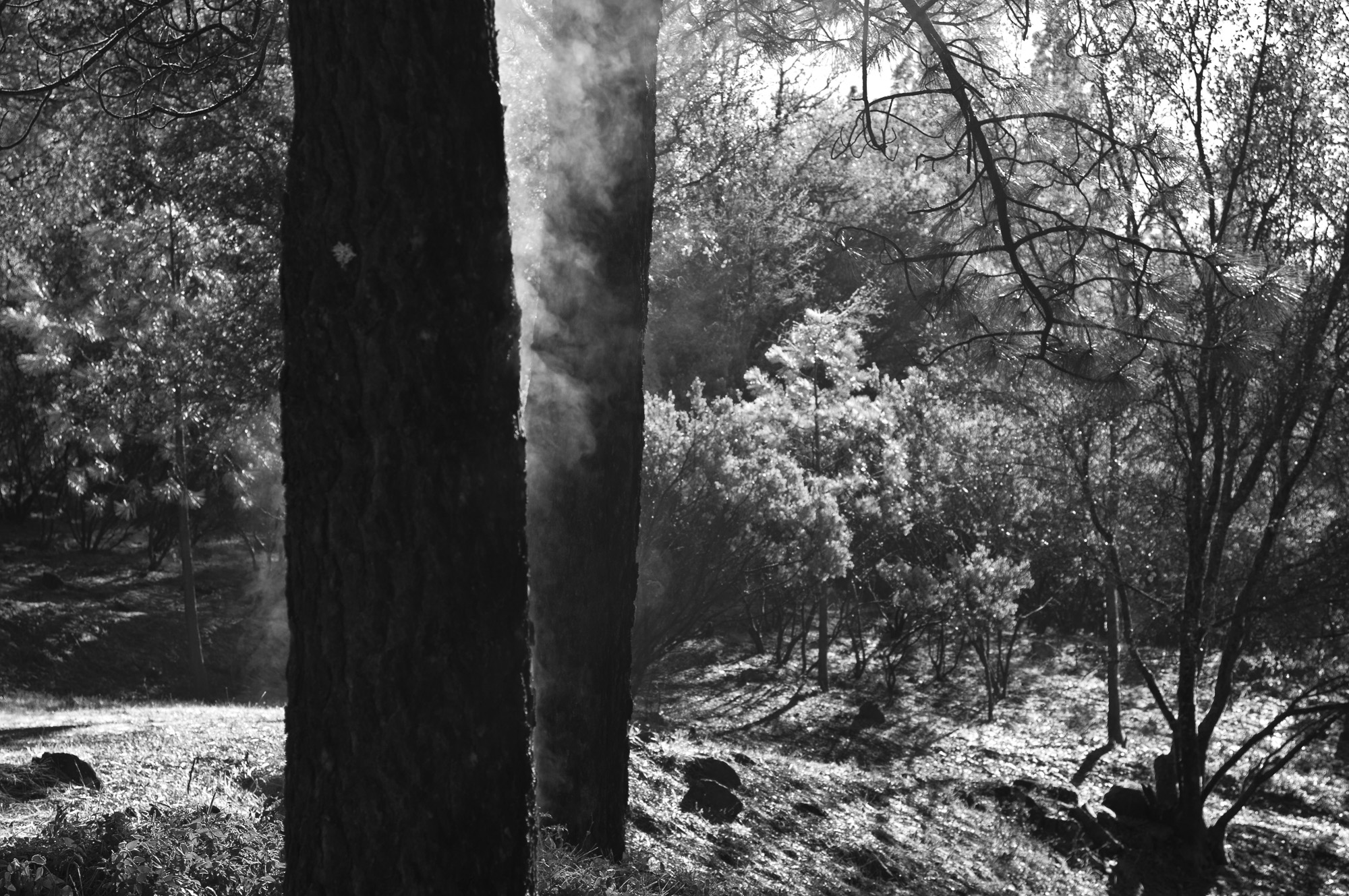 Steaming Trees