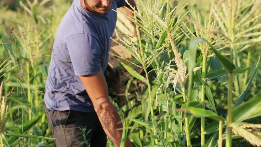 harvestcorn.jpg