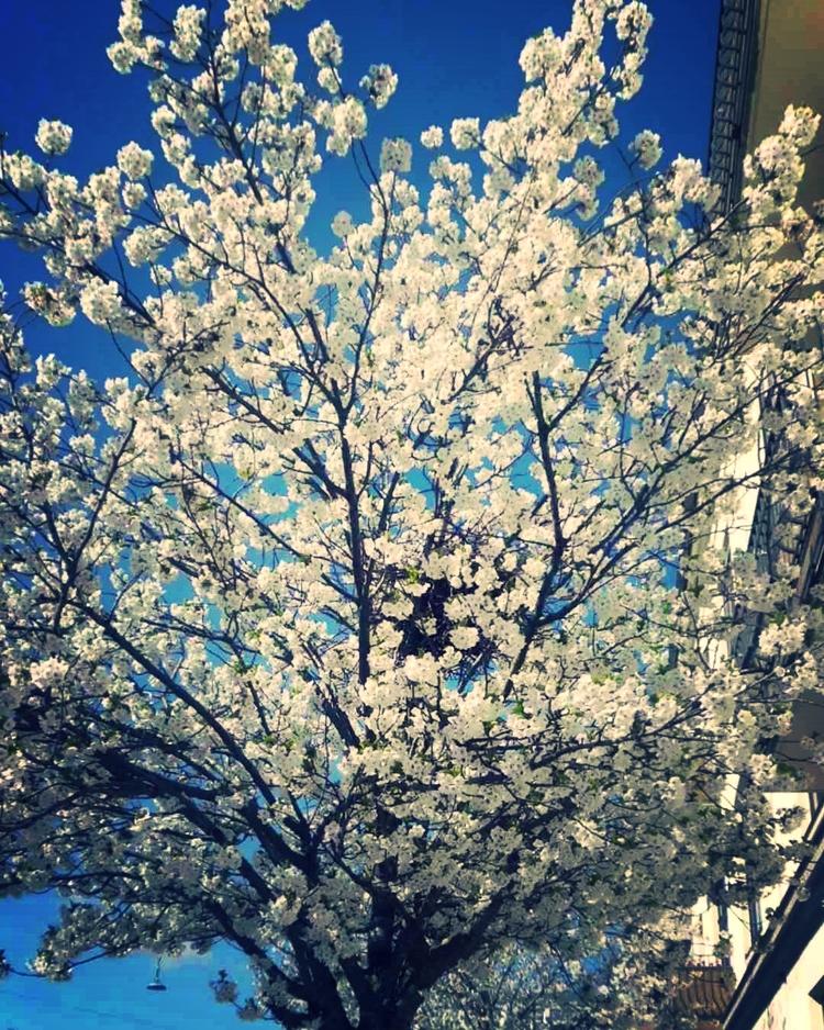 Spring blossoms in Copenhagen