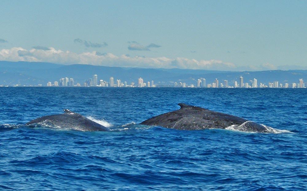 Whale_watching_gold_coast.jpg