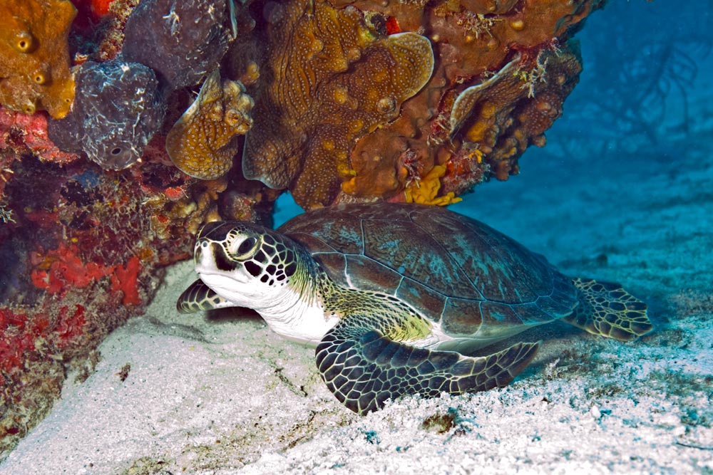 Green_Sea_Turtle_Biscayne.jpg