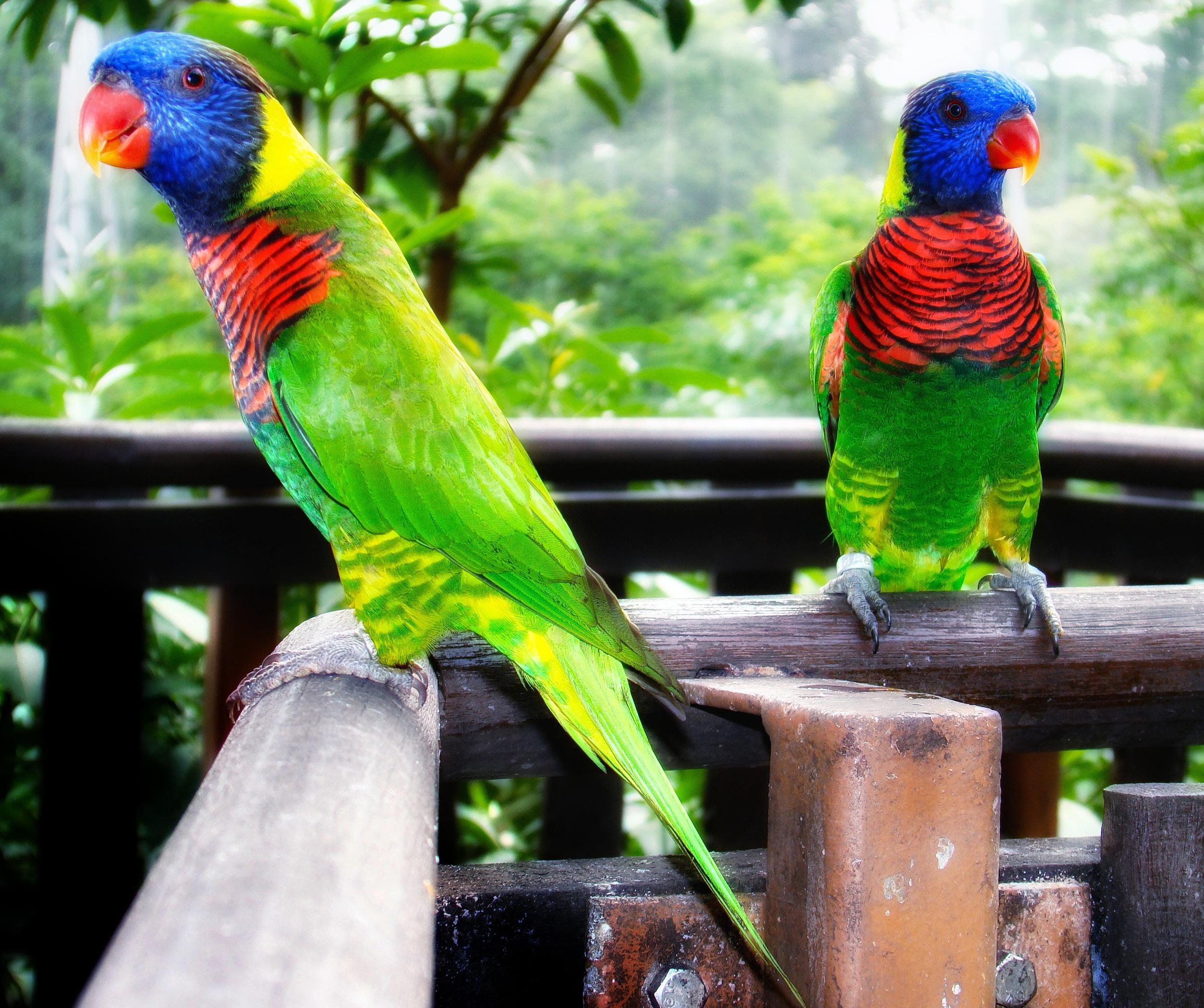 Rainbow-Lorikeets-in-Jurong-Bird-Park-2008.jpg