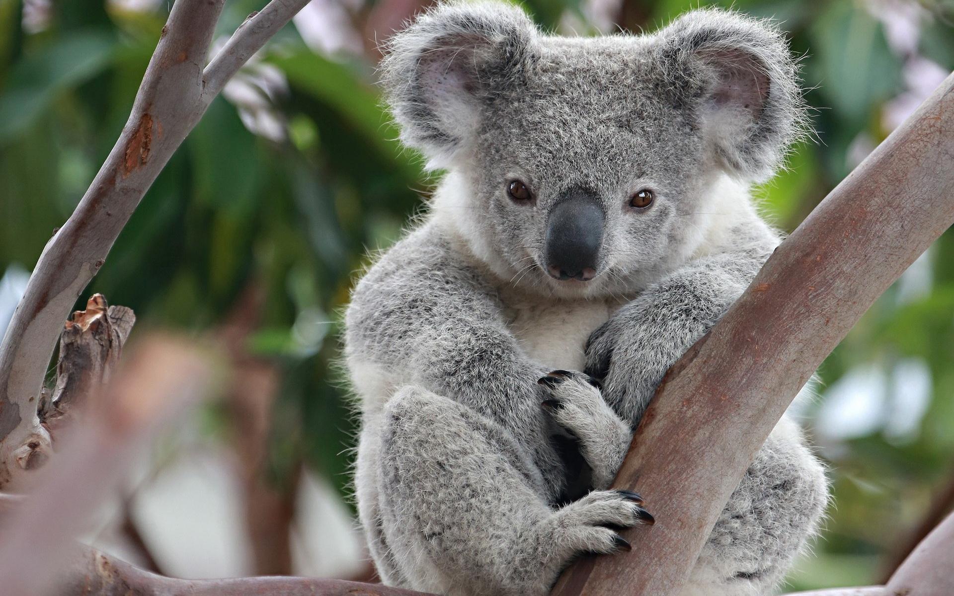 Koala-Desktop-Wallpaper-HD.jpg
