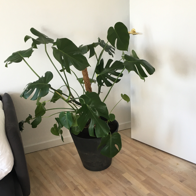Monstera plante