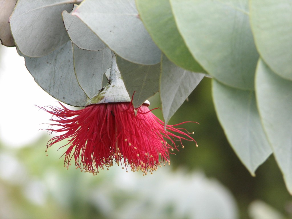 Photo credit: www.malleenativeplants.com.au