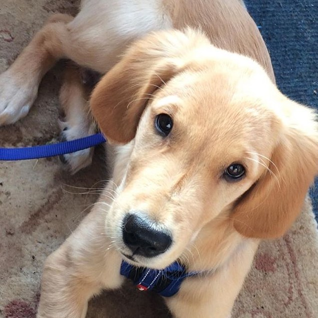 The new addition to the studio. He is getting bigger by the day. #puppy #newaddition #goldenretriever #goldenretrieverpuppy #distraction