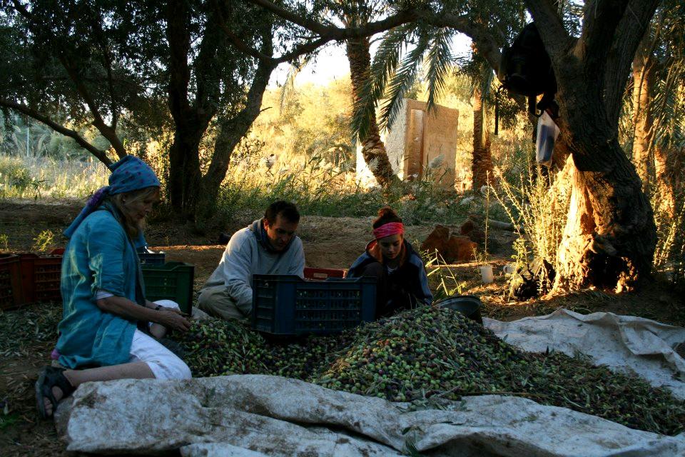 Harvest time Siwa Oasis