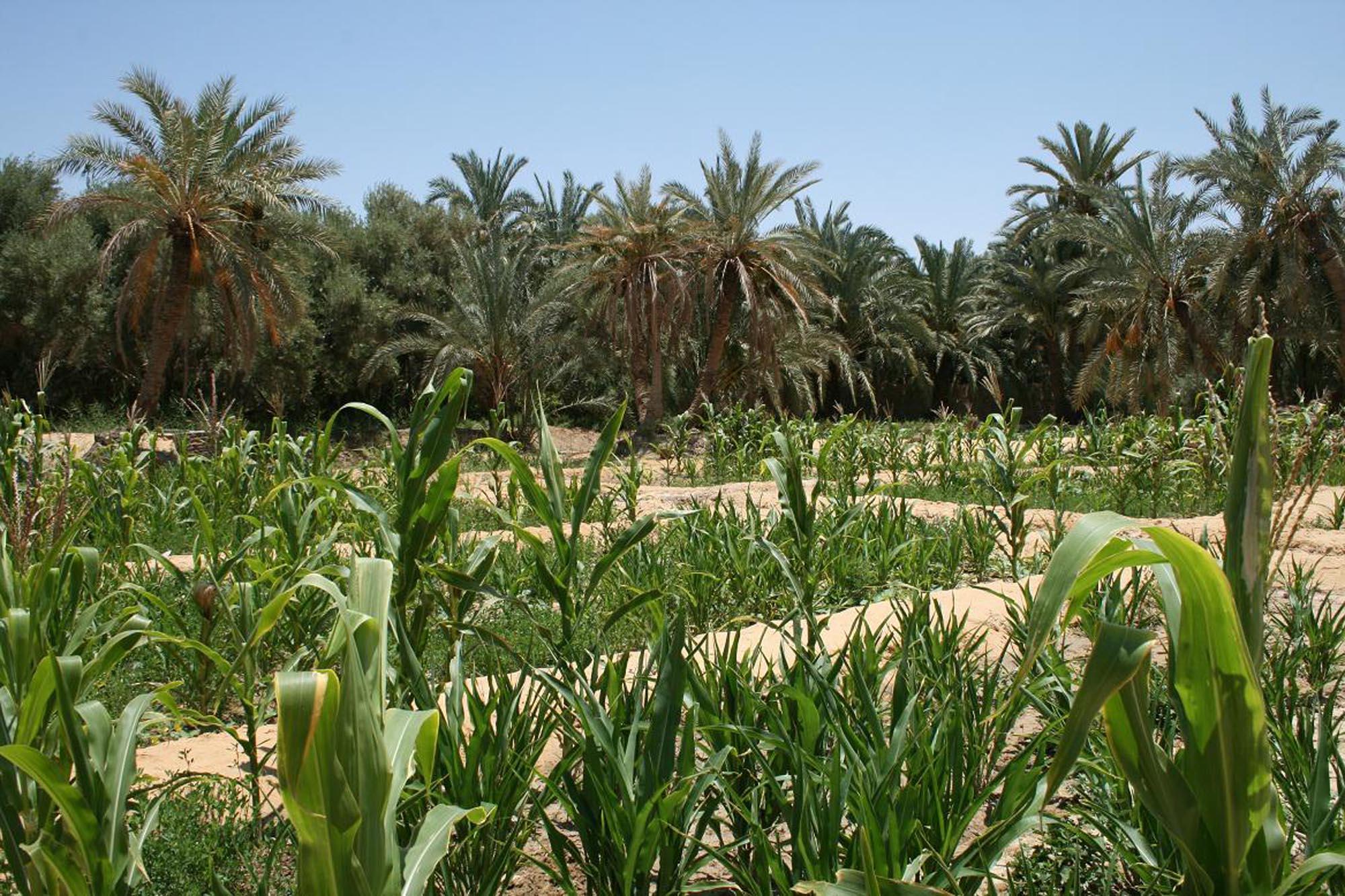 Organic corn and alfalfa