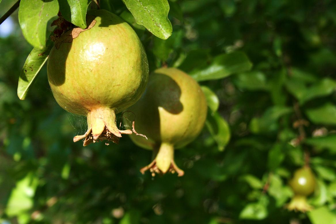 Pomegranates abundant in summer time