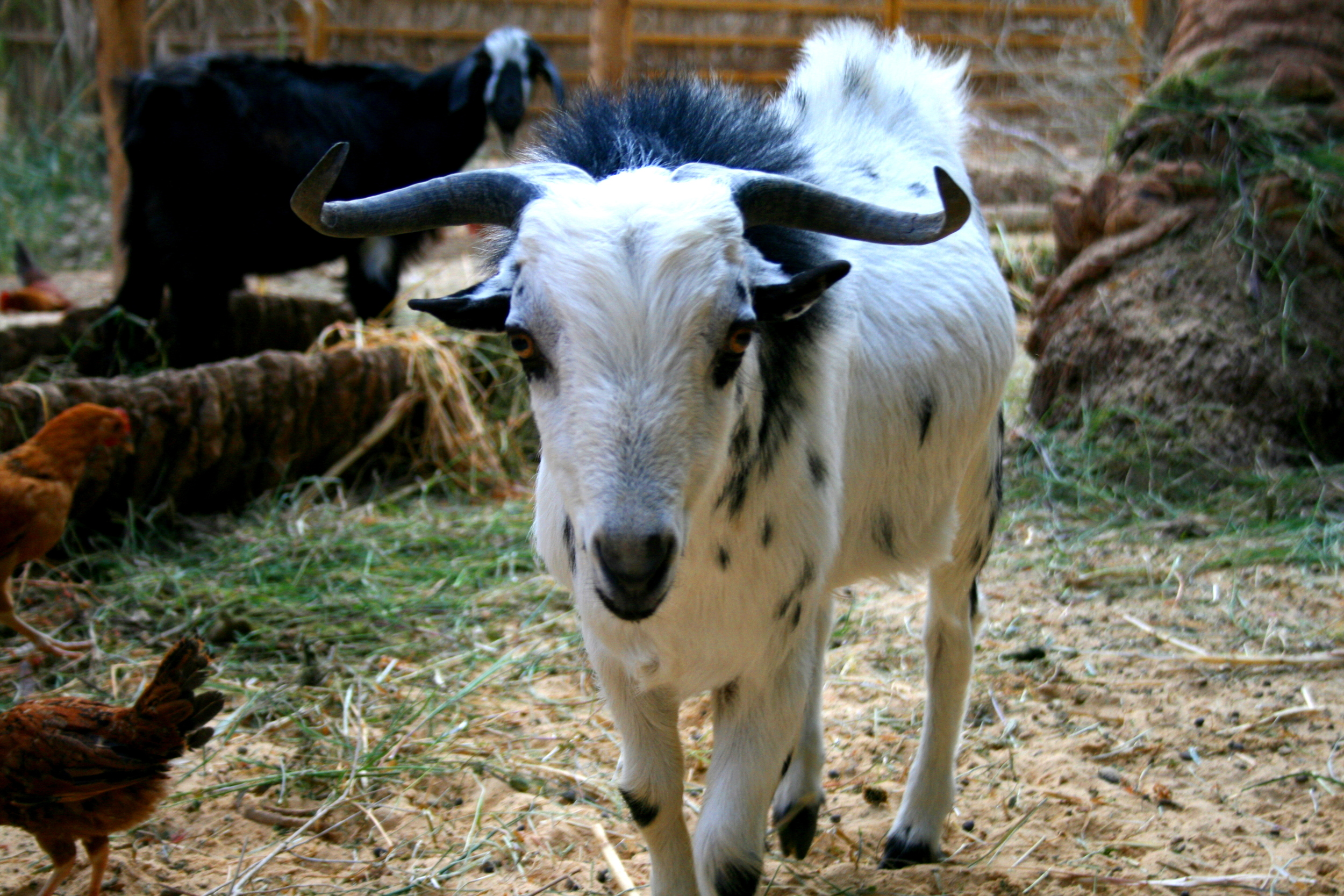 One of our big billy goats