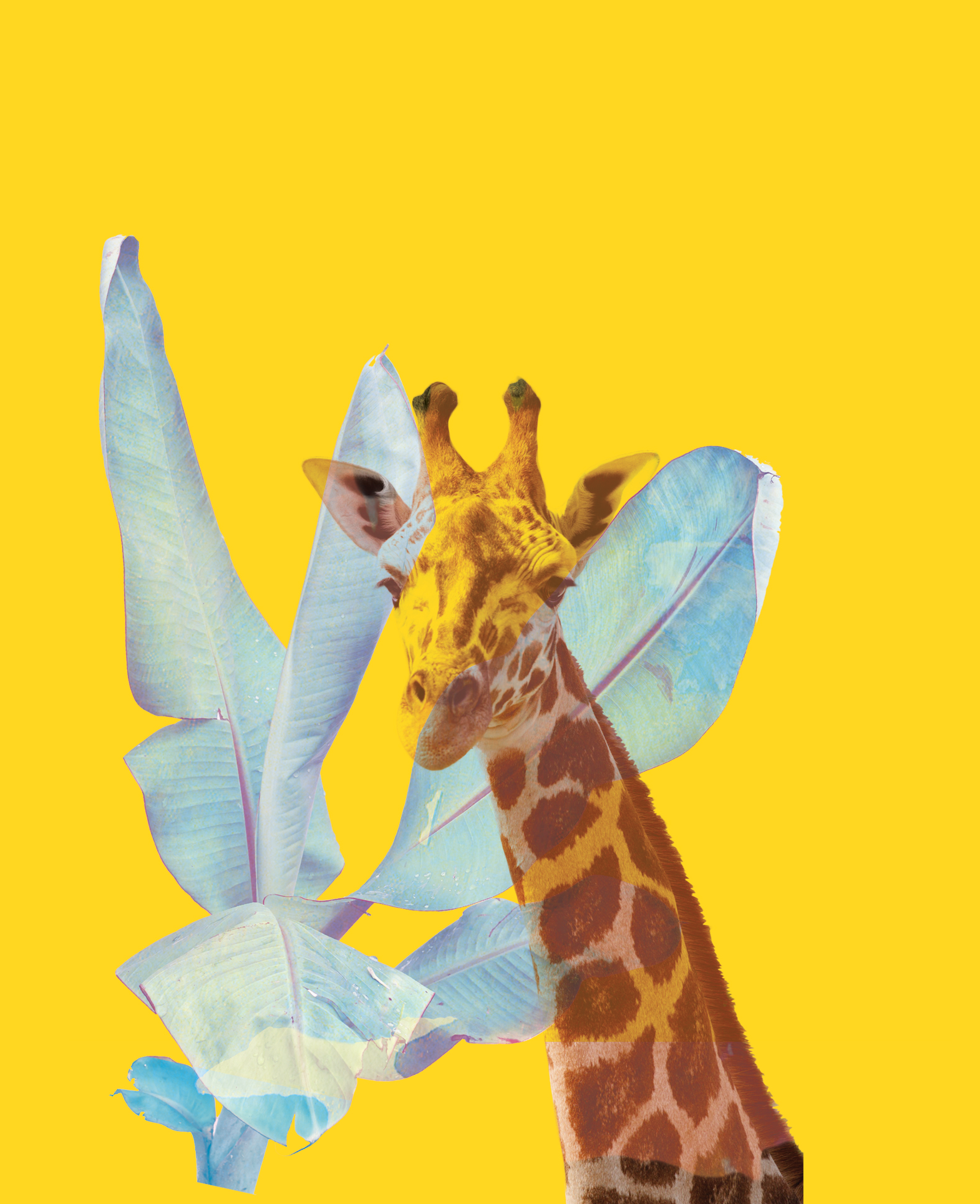 RADIANT GIRAFFE    This composition, inspired by countless visits to Nairobi's Giraffe Center and many minutes staring into big, gentle eyes, merges the curious look of a giraffe with cool-blue banana leaves onto a bold, saturated yellow background. The image recalls the warmth of sunny Nairobi and Rui's childhood home garden, dotted with banana trees.