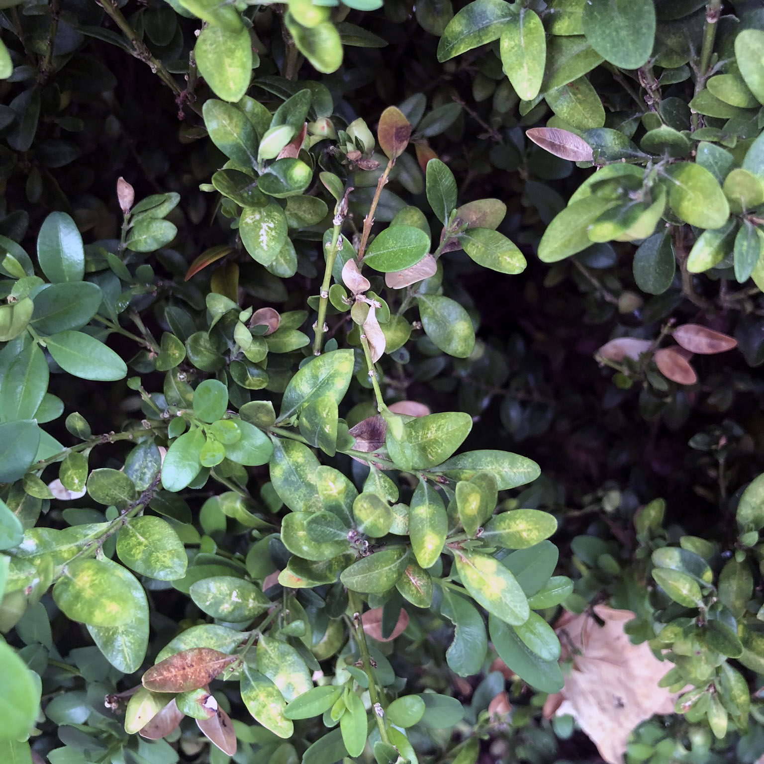 Boxwood leaf miner damage on new plant growth.