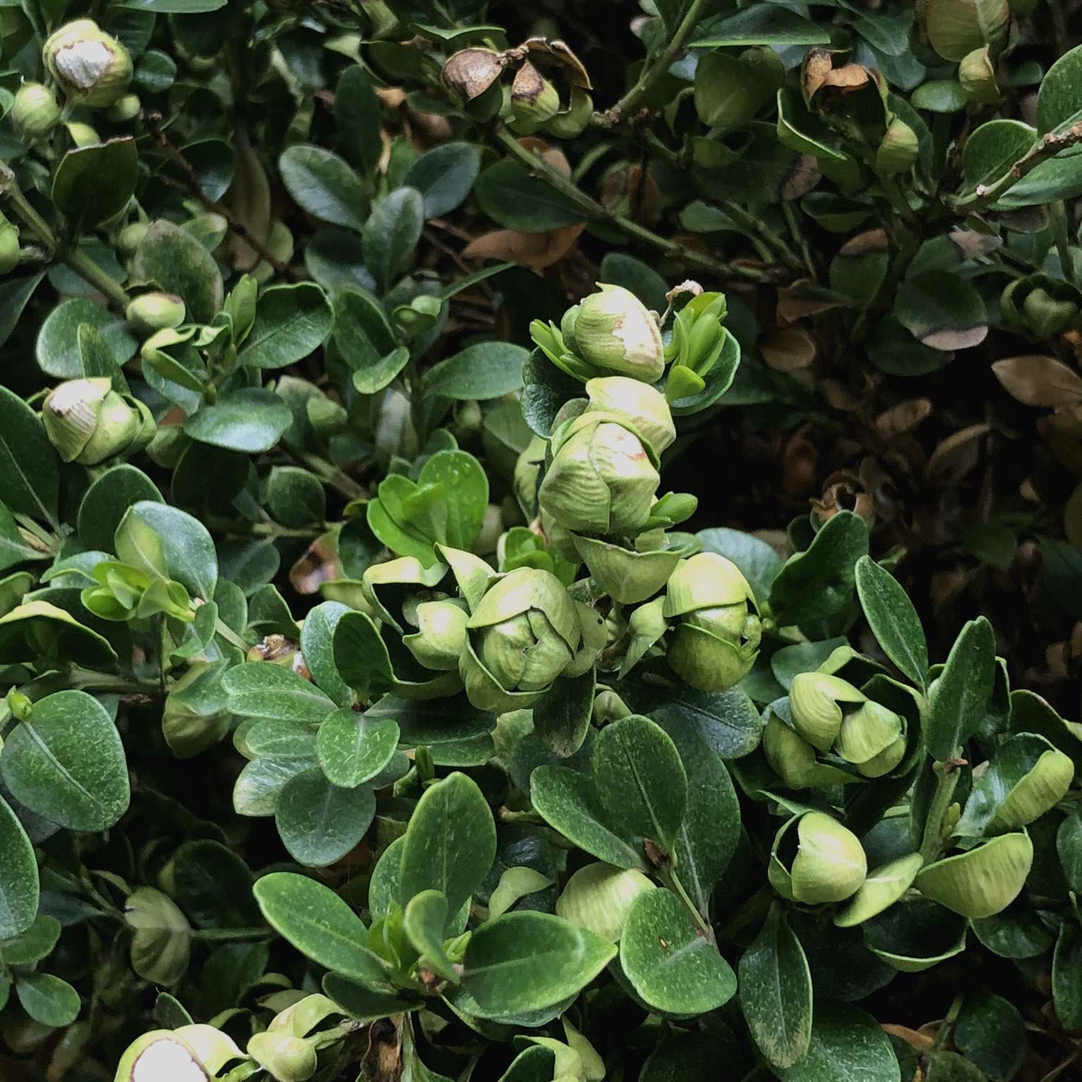 Boxwood psyllid damage causes cupping of terminal leaves of stems.