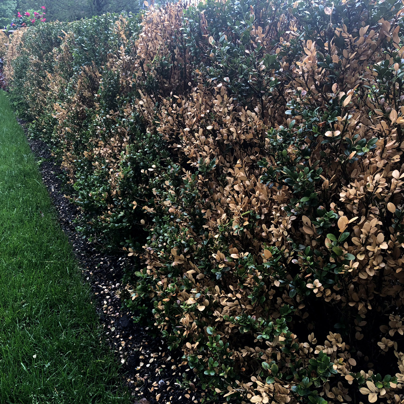 Typical winter injury on a boxwood hedge. The damage is focused on outer most growth and has a clean, bronzed appearance.
