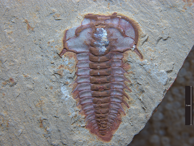Chinese Cambrian Trilobite.png