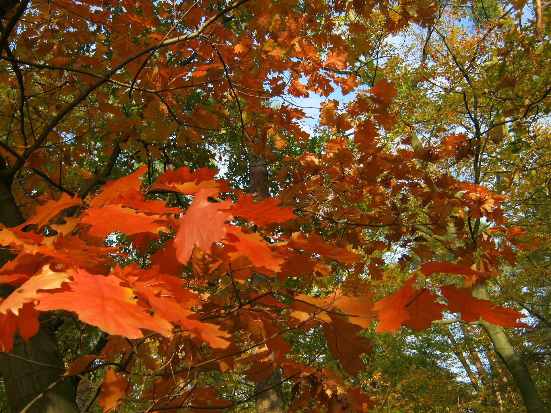 oak-leaves-84262_1920.jpg
