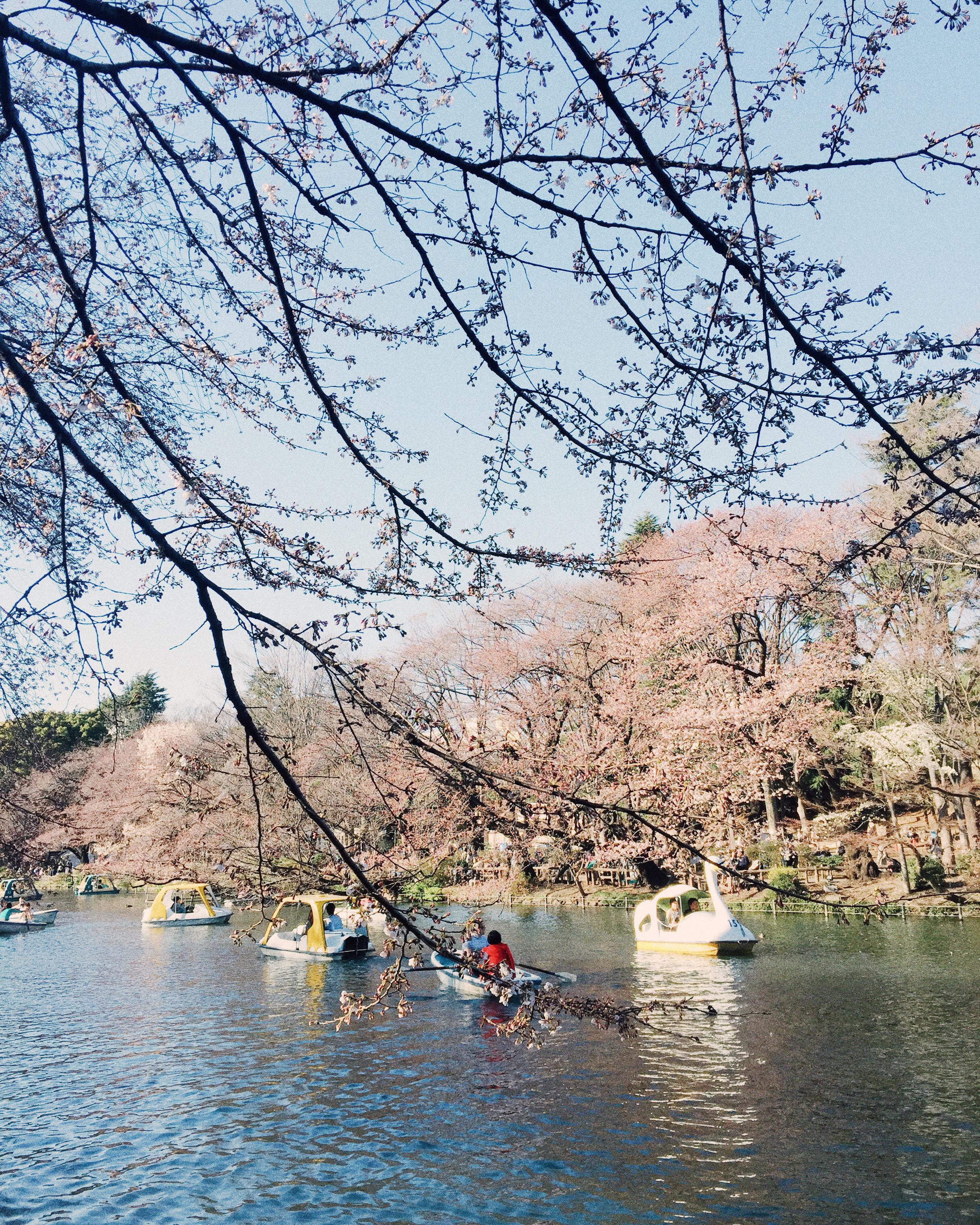 Inokashira Park, Spring 2015.