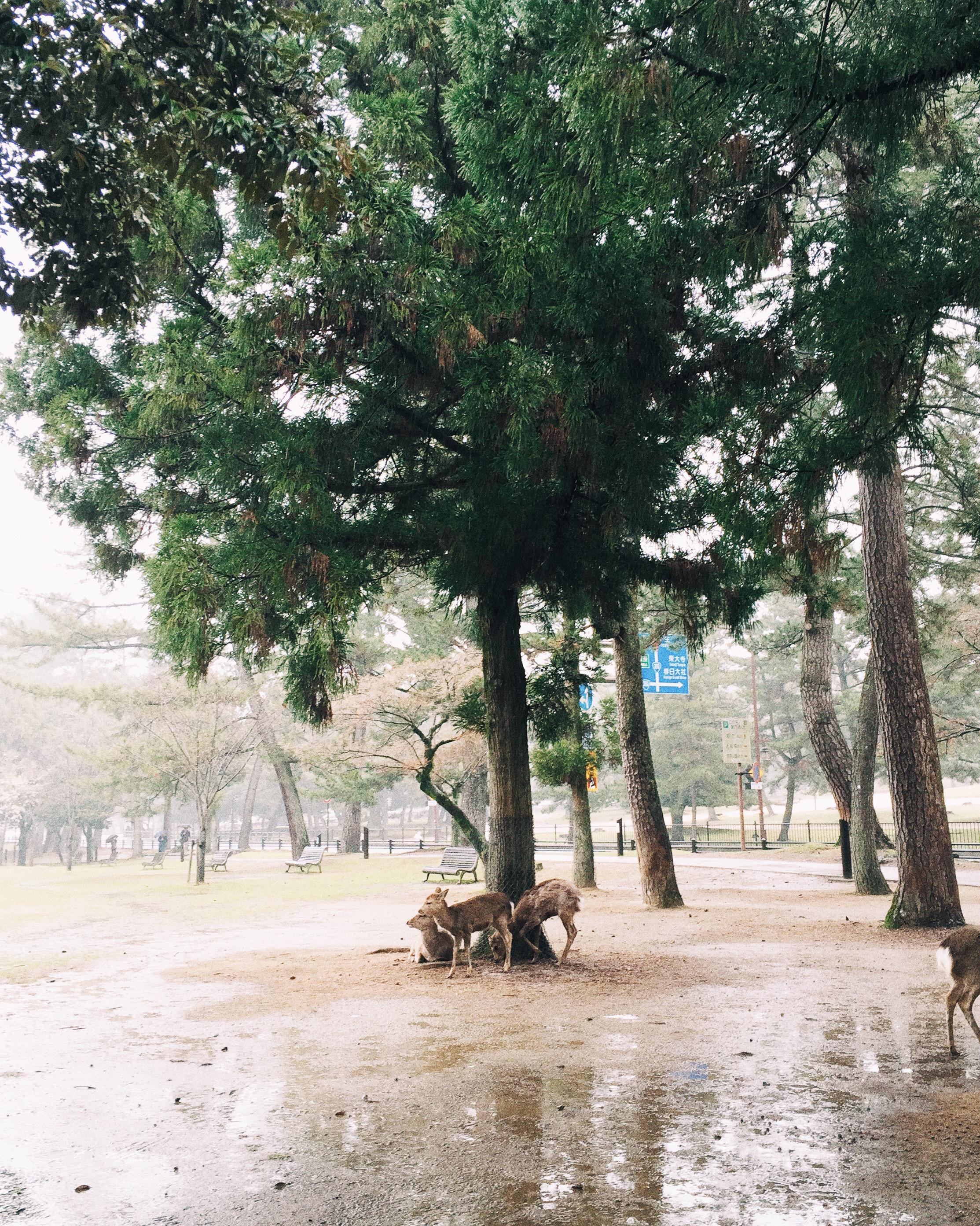 Nara Park, Spring 2015.