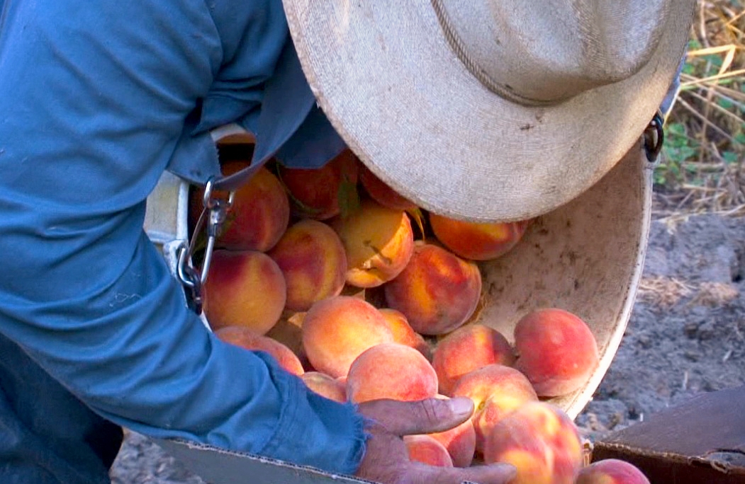 Francisco emptying peaches # 2.jpg