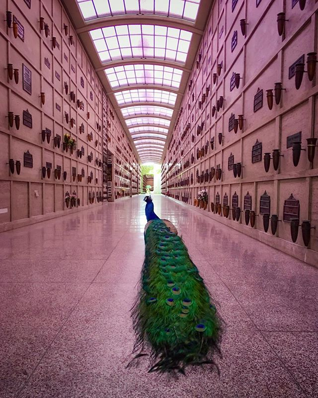 peacock in the mausoleum