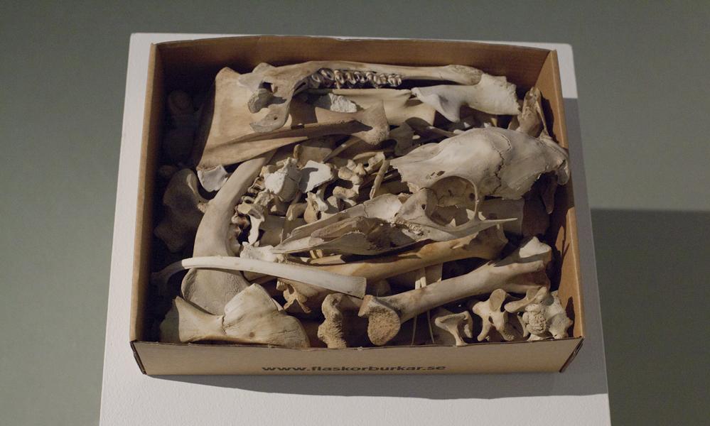 Moose calf - skeletonized