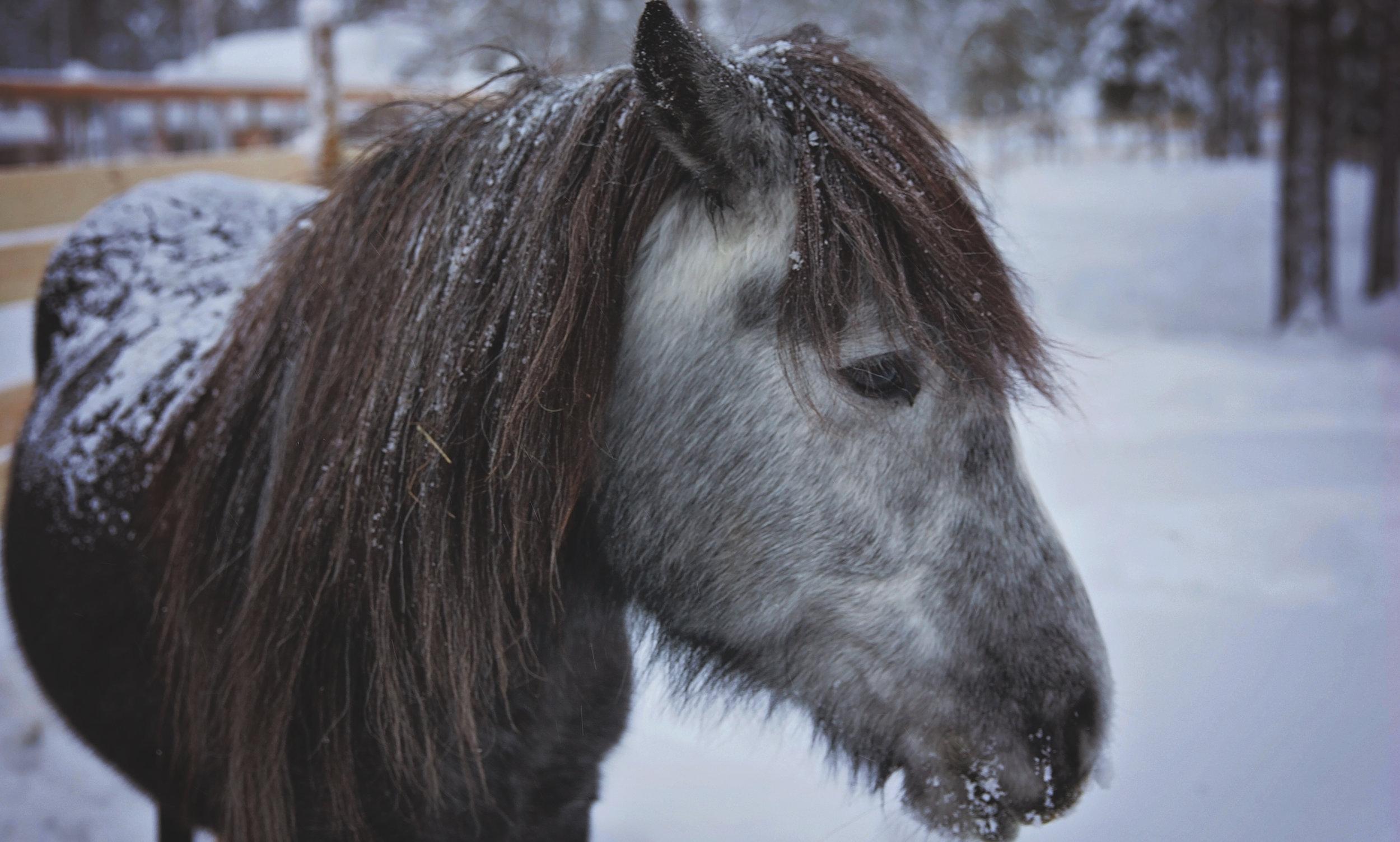 Lapland Pony 0392.jpg