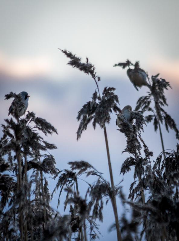 20160103-tåkern-fåglar-225.jpg
