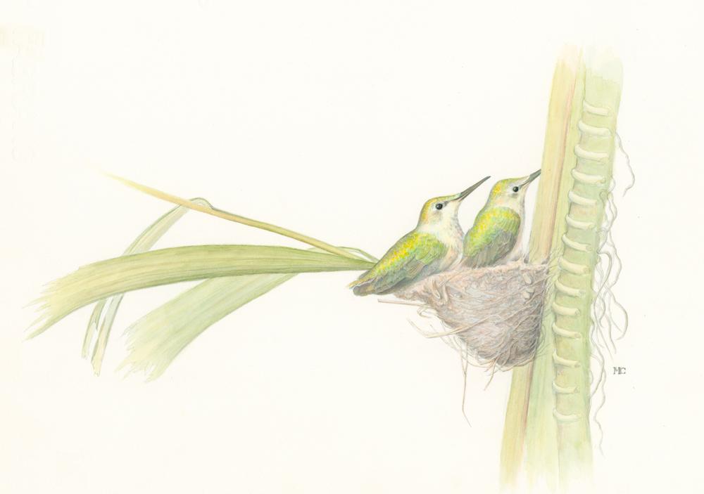 Anna's Hummingbirds.jpg