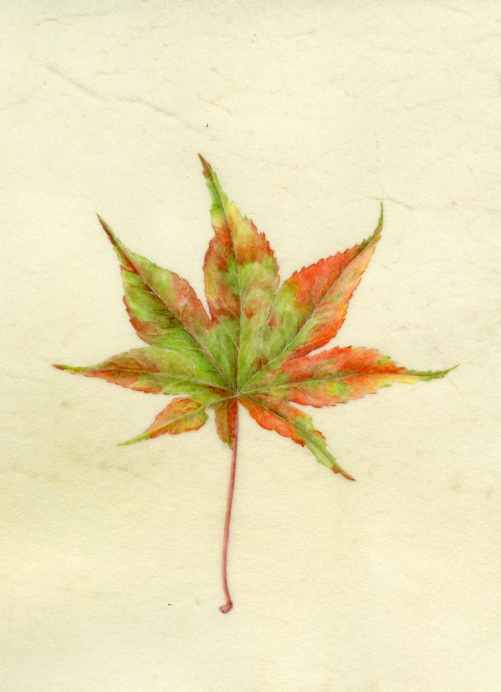 japanese maple on vellum .jpg