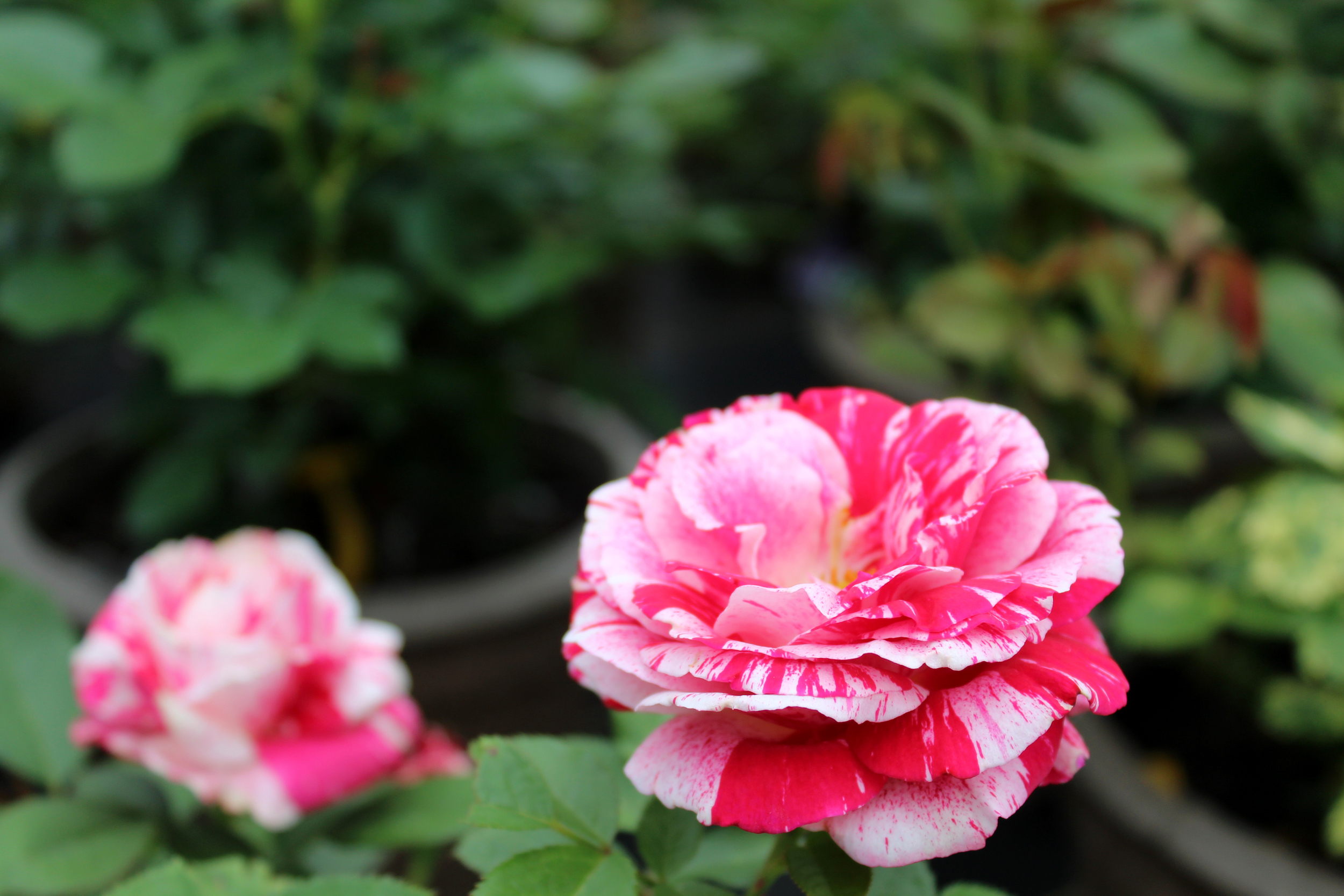 I forget the proper name for this flower. But the man I was chatting with said he just calls it a peppermint rose.