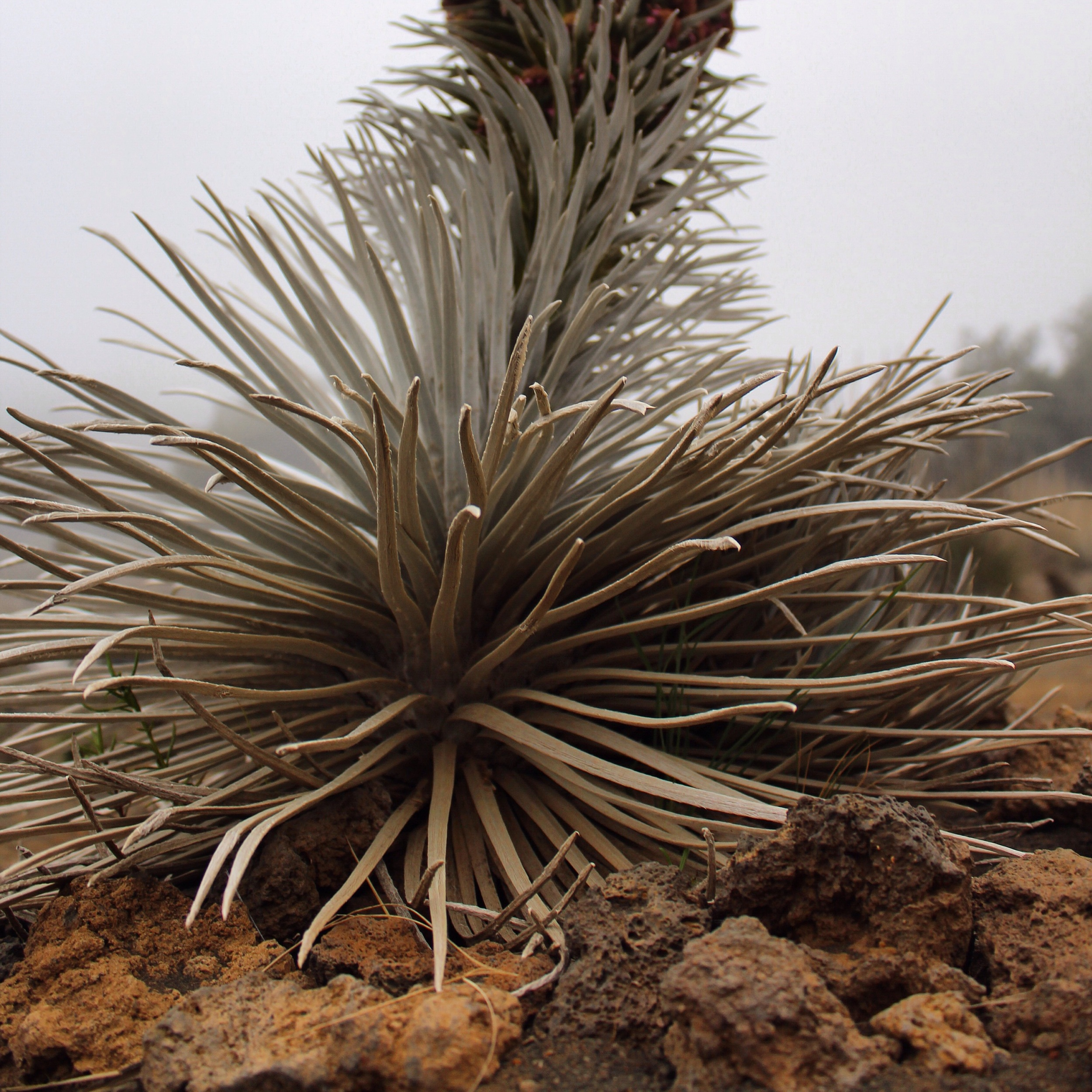 The Silversword plant from below.