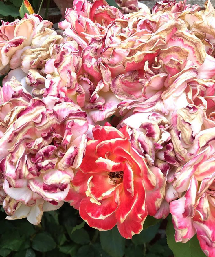 toasted roses close up.PNG