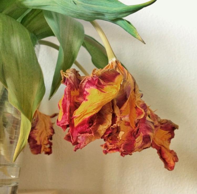 dead tulip.PNG