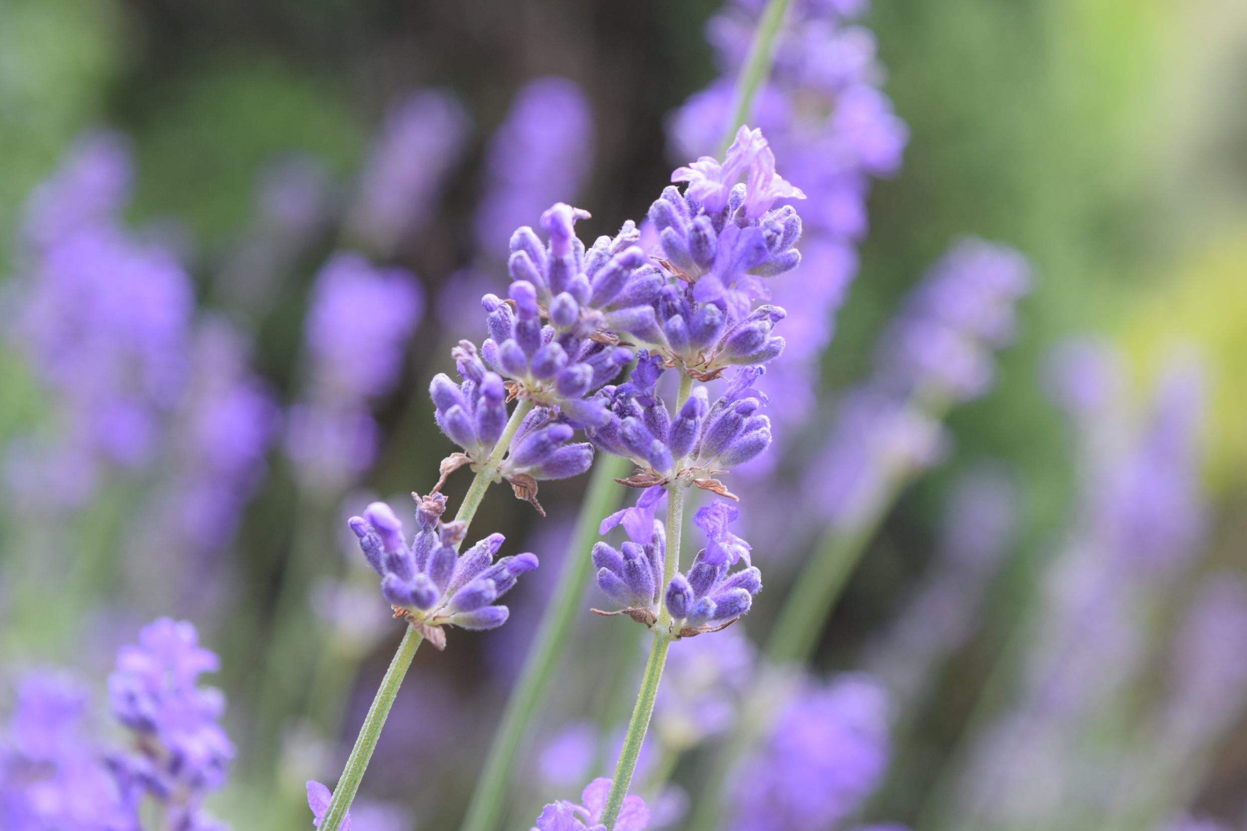 Buchart Gardens Flower 3.jpg