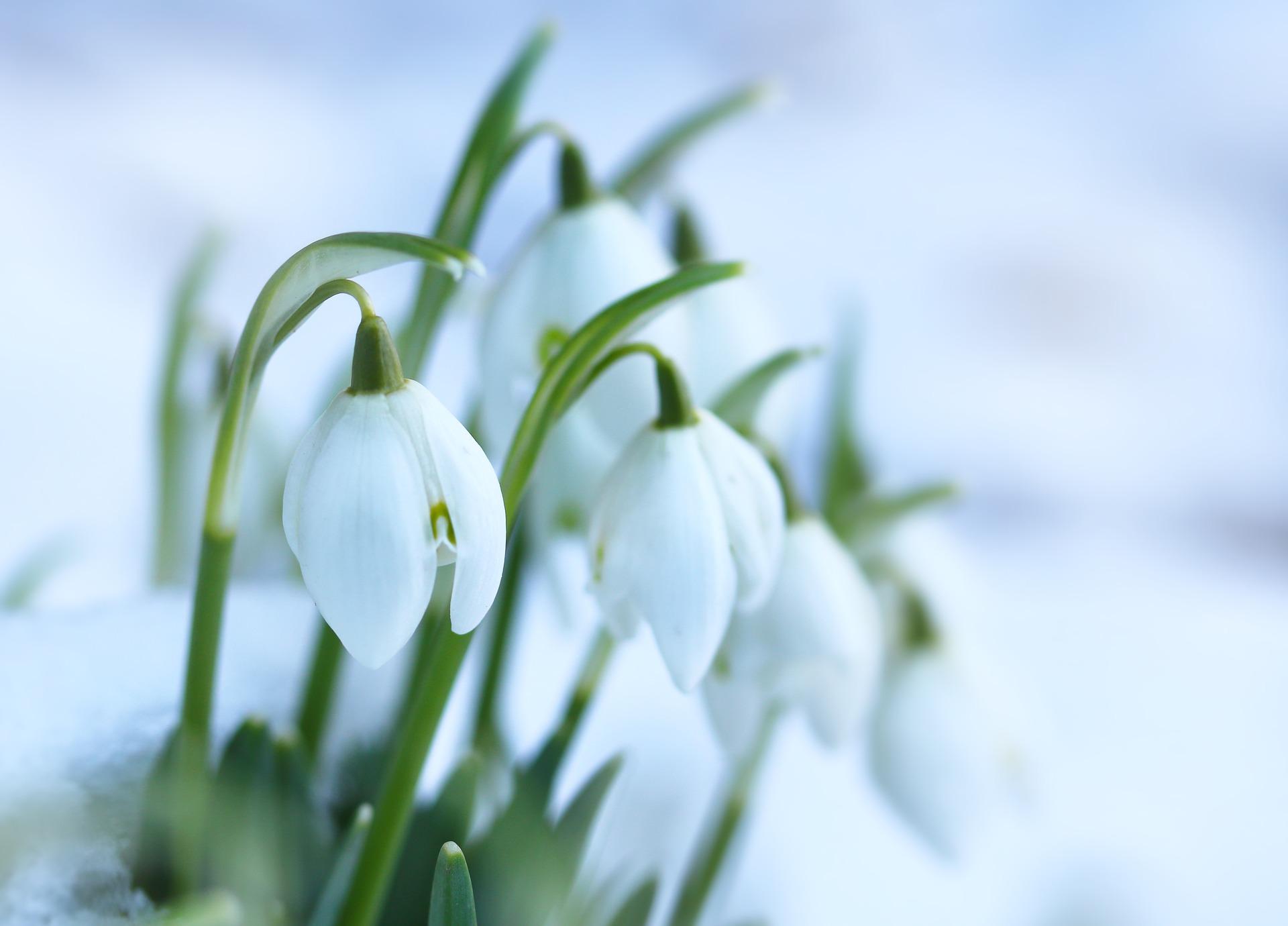 snowdrops-3236773_1920.jpg