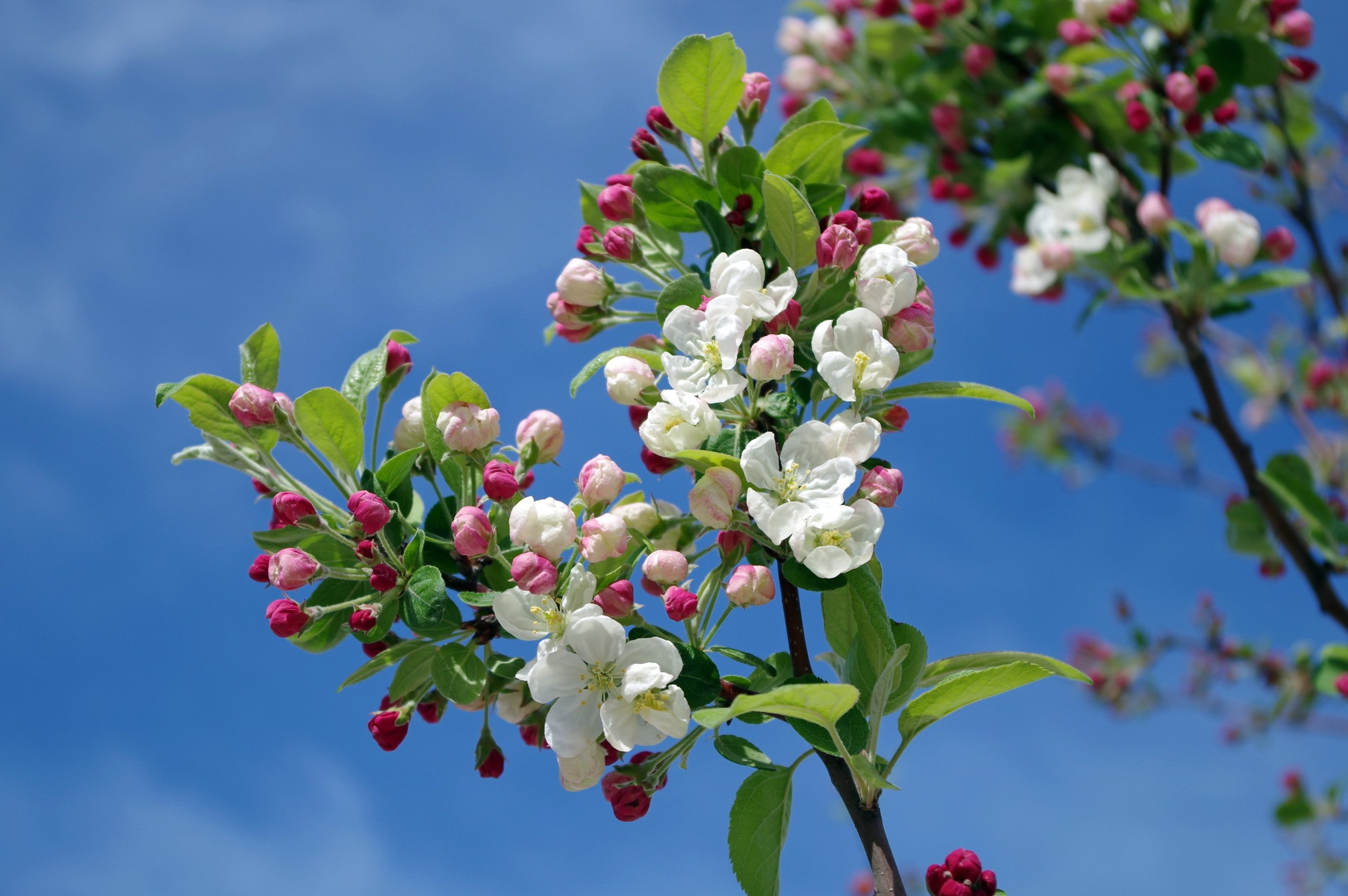 apple-blossom-bloom-blooms-67286.jpg