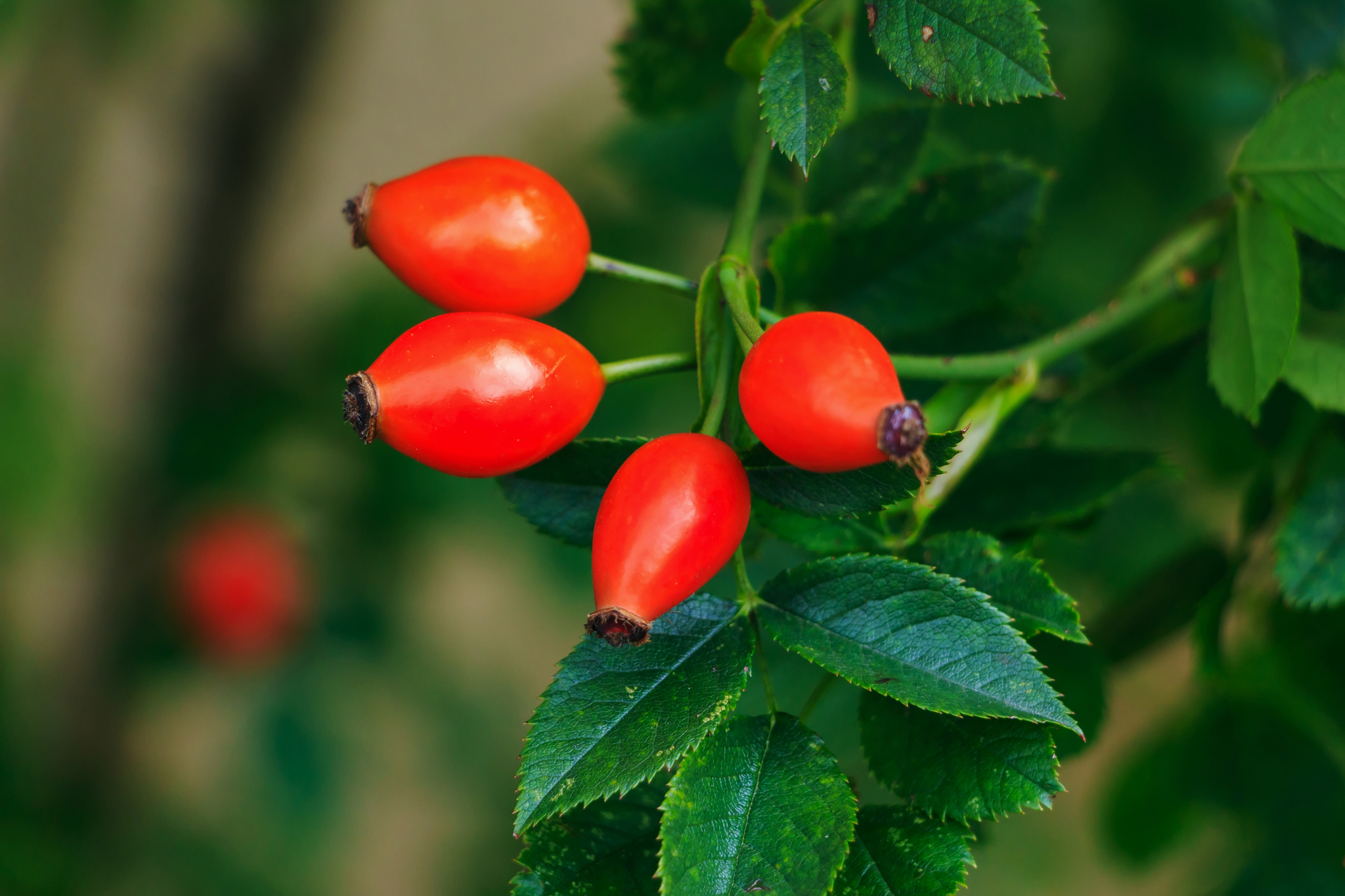 Rose hip oil an excellent source of topical trans-retinoic acid for skin regeneration.