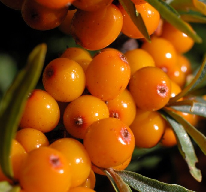 Seabuckthorn berry oil replenishes and restructures; supports natural cell turnover.