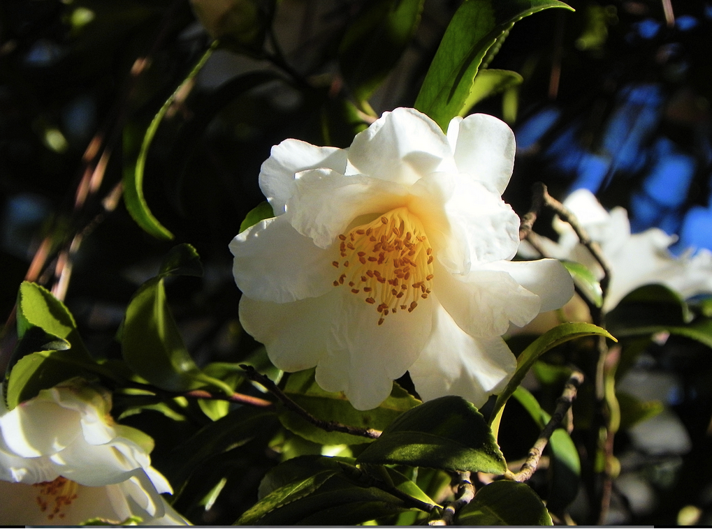 Camellia oil increases the feel of skin's elasticity and gives it a luminous glow.