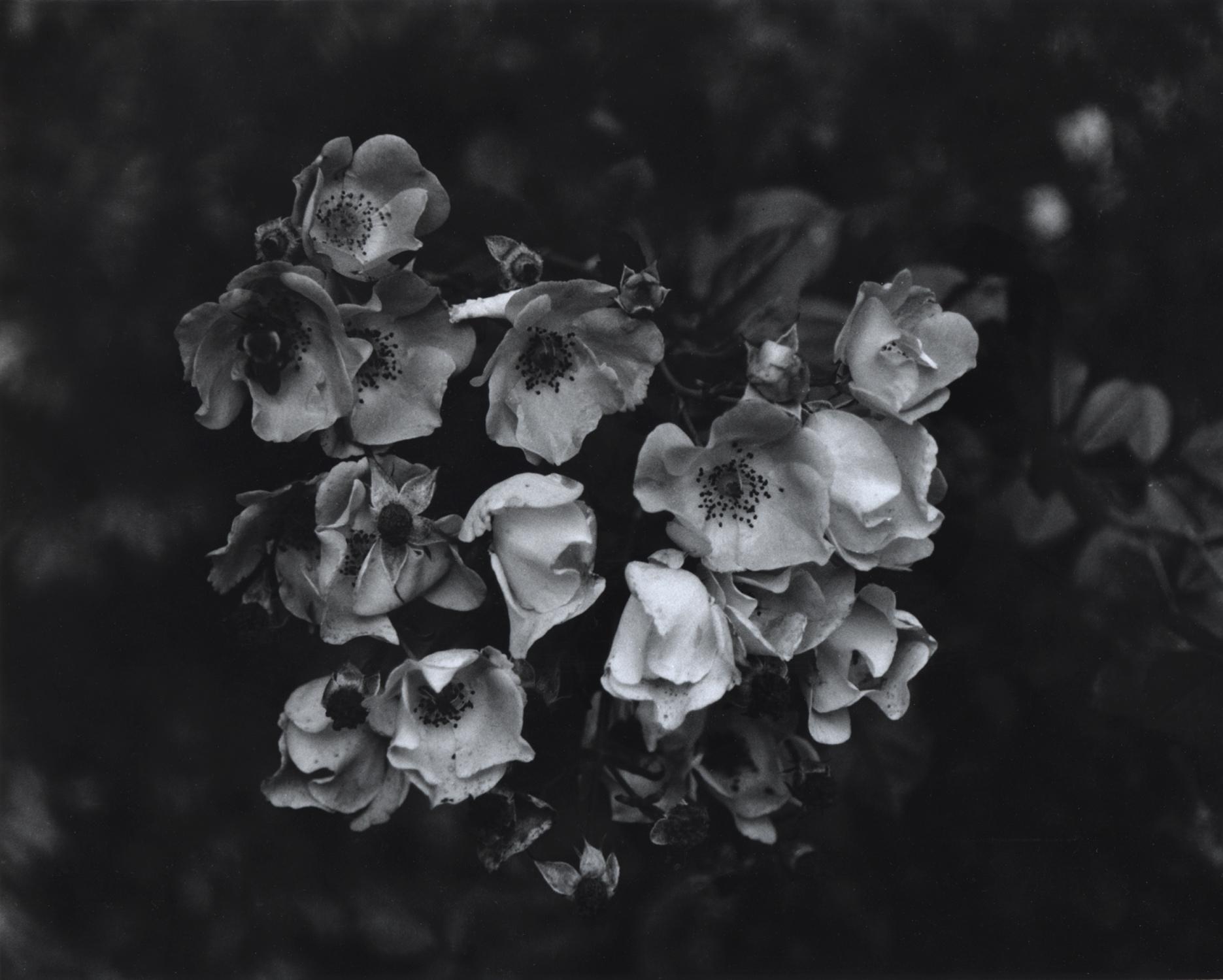 Cherry Blossoms - Black and White Photograph by Gillian Desmarais