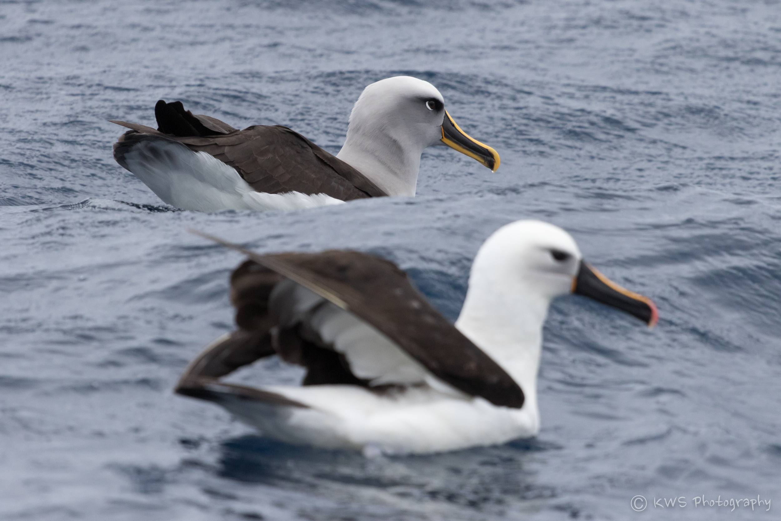 Indian Yellow-nosed and Buller's Albatrosses
