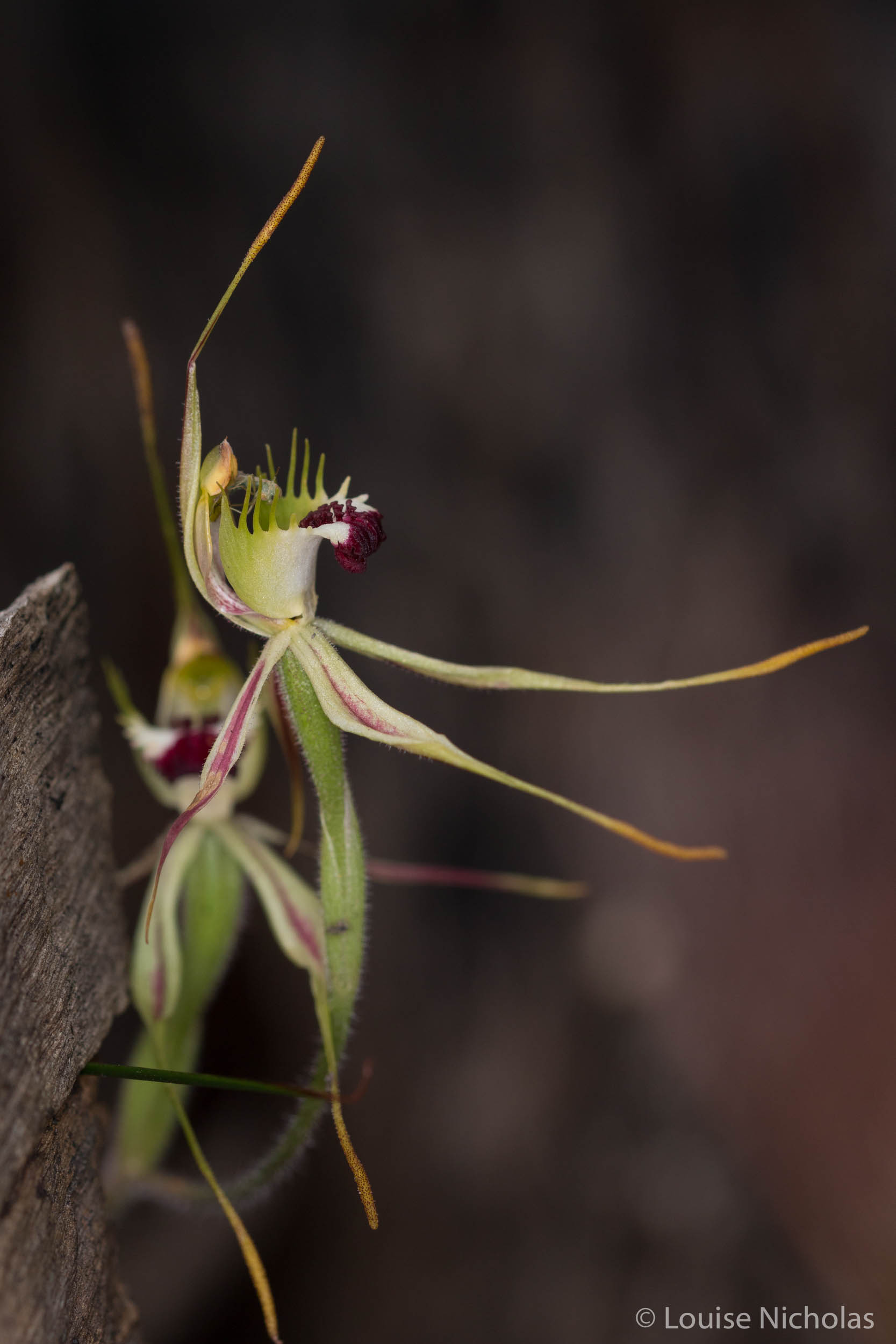 Spider-Orchid-Green-Comb.jpg