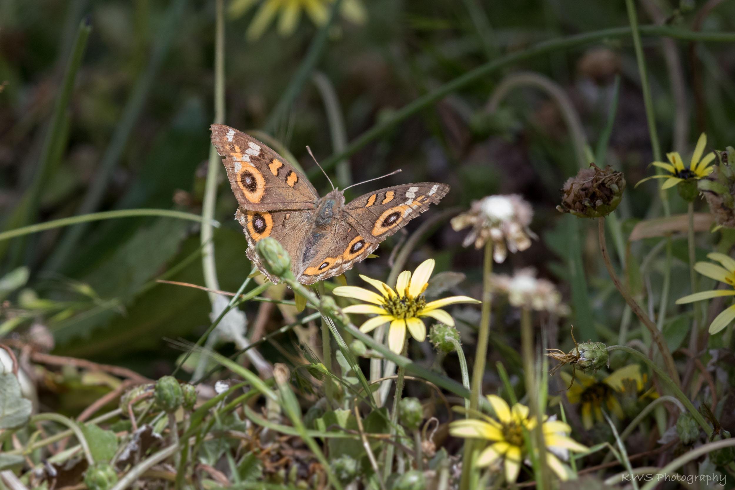 Meadow Argus (Junonia villida)